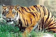 Haiwan Unik 7 Fakta Harimau Di Benua Asia Yang Comel Tapi