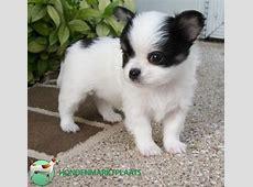 Chihuahua pups   Honden