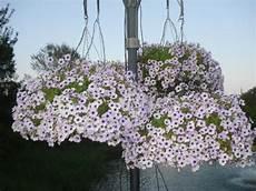 fiori a cascata una cascata di fiori bellissimi in utto il parco picture