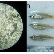 Gambar 1 Ciri Morfologi Dan Gonad Ikan Pelangi Iriatherina