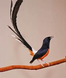 Foto Burung Murai Batu Terpopuler Jenis Burung Kicau
