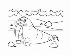 walrus coloring pages getcoloringpages com