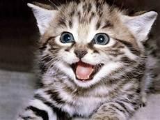 40 Koleksi Gambar Gambar Anak Kucing Yang Terlajak Comel