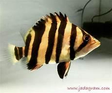 Jenis Ikan Hias Air Tawar Warna Belang Kuning Hitam