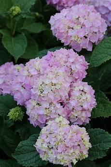 hydrangea macrophylla endless summer pink hortensie bcm