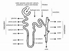 urine boundless anatomy and physiology