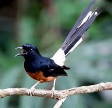 Gambar Burung Murai Batu Vector Gambar Burung