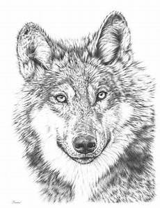 stunning white wolf drawings america