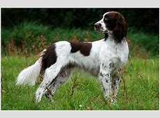 French Spaniel   Breeders, Facts, Pictures, Puppies