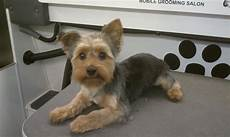 yorkie haircuts pictures summer cuts yorkie summer haircut photos apexwallpapers com