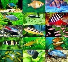 Ikan Hiasan Air Tawar Ikan Laga