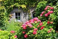 tailler les hortensias photos comment tailler un hortensia conseil jardin willemse