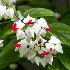 Terbaru 28 Gambar Bunga Tanaman Sirih Gambar Bunga Indah