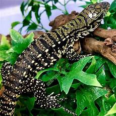argentine tegu care sheet cb reptile geckos for sale chameleons for sale ball pythons