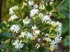 arbuste à fleurs blanches odorantes fleurs blanches odorantes