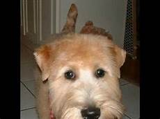 haircuts for wheaten terriers fritz the wheaten terrier s new haircut youtube