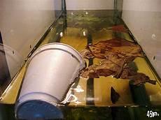 Makanan Ikan Cupang Cepat Bertelur kakanda pio12 budidaya ikan cupang