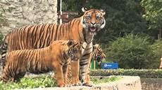 am zoo tygrys sumatrzański zoo warszawa 22 08 2012
