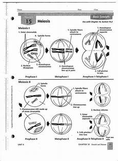 16 best images of steps of meiosis worksheet answers