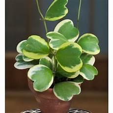 plante hoya kerrii variegated leaf hoya hoya kerrii variegata