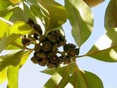 ausbreitung eukalyptus wie eukalyptus aus samen