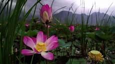 fiori e thailandia dopo 10 anni tornano i fiori di loto sacri