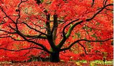 Erable Rouge Du Japon Erable Du Japon Acer Palmatum Et Autres 233 Rables Japonais