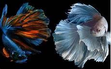 Kamu Bakal Kebelet Pelihara Ikan Cupang Setelah Lihat 10
