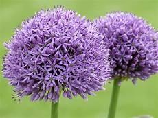 L Allium Une Boule Haute En Couleur Pour Le Jardin