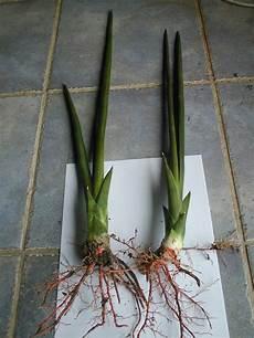 sansevieria cylindrica pflege sansevieria cylindrica care sansevieria cylindrica