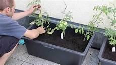 tomaten im hochbeet tomatenk 252 bel einfach und g 252 nstig selbst bauen garten
