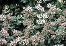 viburnum tinus winterhart viburnum tinus lorbeerschneeball mittelmeerschneeball
