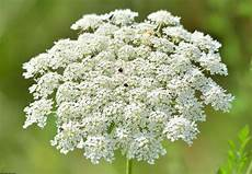 White Yarrow Or Hemlock One S An Herbal Remedy The Other