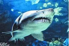 Gambar Ikan Remora Dunia Binatang