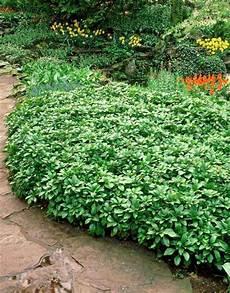 plante couvre sol persistant plantes couvre sol 224 croissance rapide dans le jardin