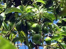 Avocat Le Fruit