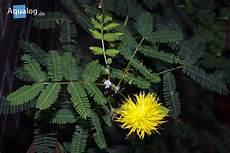 mimose pflanze kaufen mimosen pflanzen die sich bewegen aqualog de