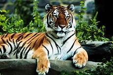 Koleksi Gambar Harimau 5 Gambar Hidup