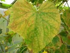 Gurke Gelbe Blätter - meine armen gurken mein sch 246 ner garten forum
