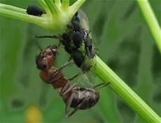 ameisenbekämpfung im haus ameisenbek 228 mpfung im haus und garten