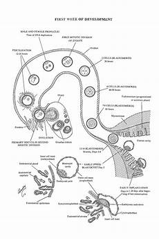 chapter 14 week 1 of embryonic development ovulation to implantation review of medical