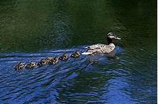1000 Gambar Bebek Berjalan Paling Baru Infobaru