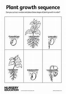 growing plants worksheets kindergarten 13575 bean plant growth sequencing sheets sb9535 sparklebox homeschooling sunflower cycle