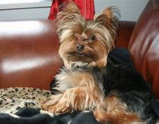 yorkie haircuts pictures summer cuts miniature yorkshire terrier the summer haircut for hot yorkies