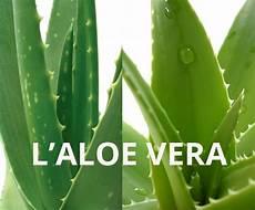 acheter un aloe vera recette concombre aloe vera pour soulager les yeux