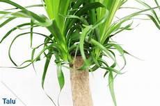 yucca palme zurückschneiden yucca palme abschneiden so k 252 rzen sie zu gro 223 gewordene