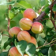 abricotier bergeron taille en demi tige 12 14 racines