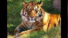 Kumpulan Gambar Gambar Harimau