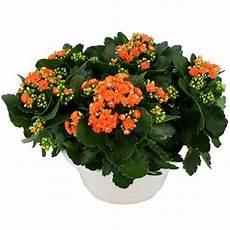 Livraison De La Plante Fleurie Automne Quot Kalanchoe Orange