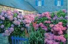 tailler les hortensias photos comment tailler les hortensias et autres 171 hydrangea